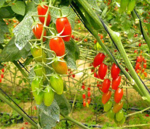 העגבניות שלנו- בואו תנסו בעצמכם!!